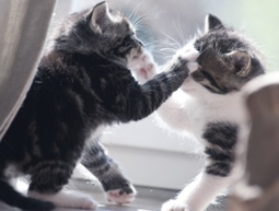 Cats Conflict